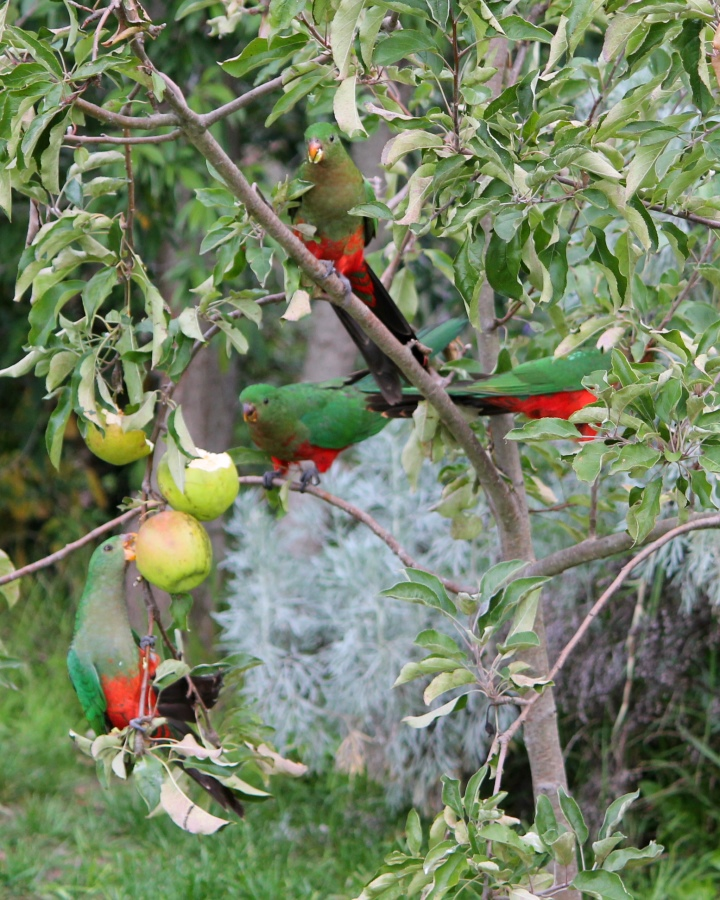 More King Parrots eatting our apples.