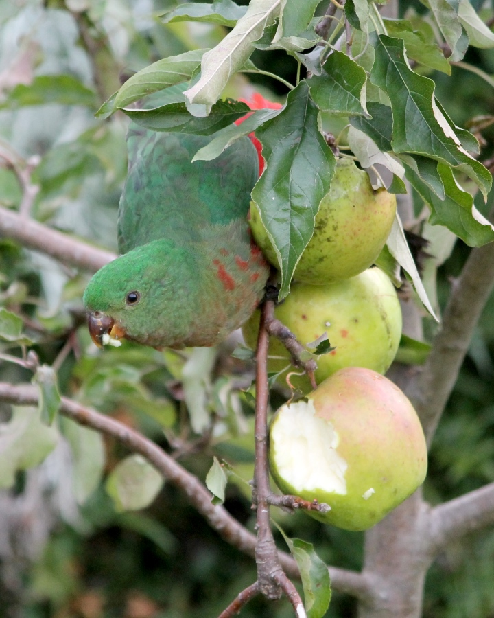 Our apples being eaten by a bird, around April of 2014.
