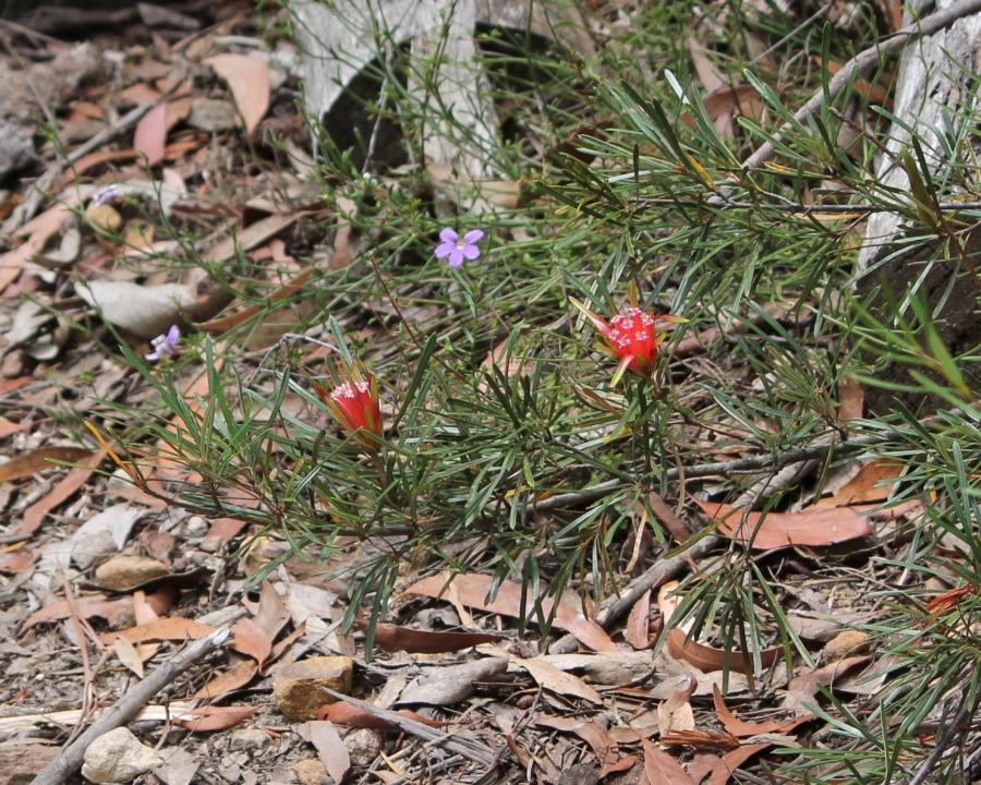 Lambertia formosa flowers