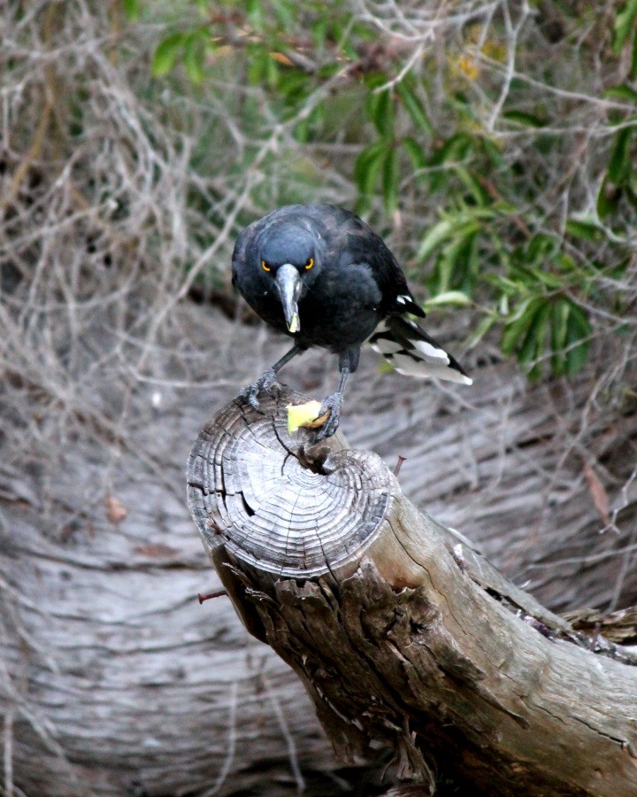A Currawong eating a piece of apple