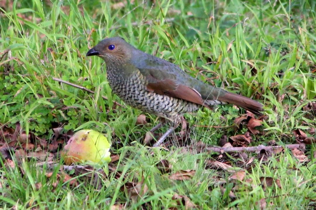 Female Satin Bowerbird eating an apple
