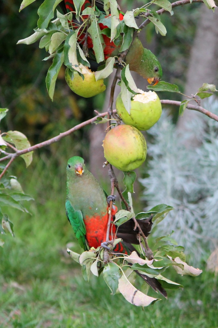 King parrots eating apples