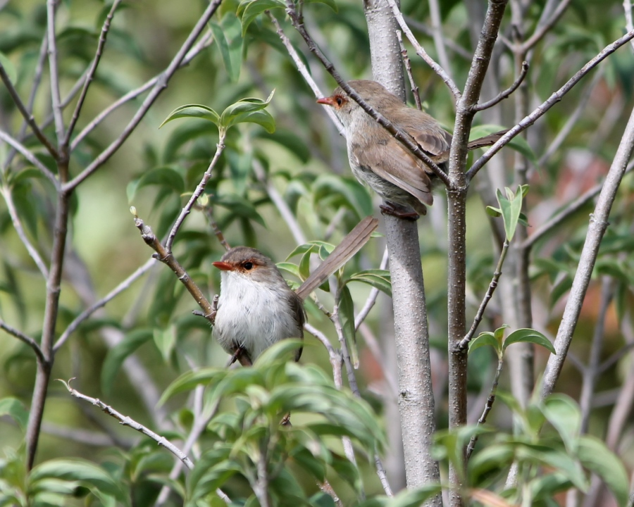 Female Superb Fairy-wrens