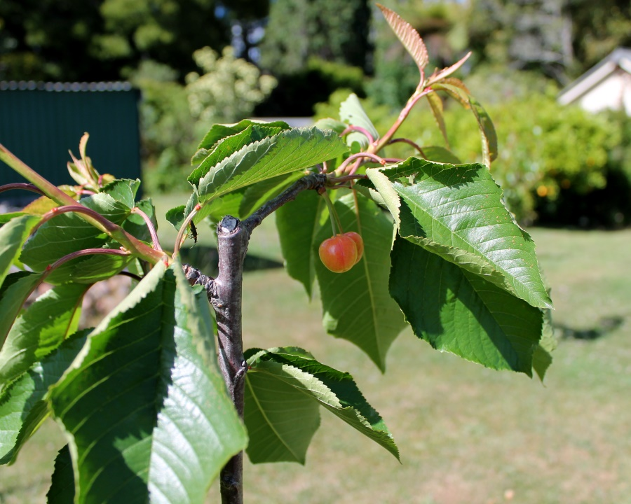 A pair of cherries on one of our trees.
