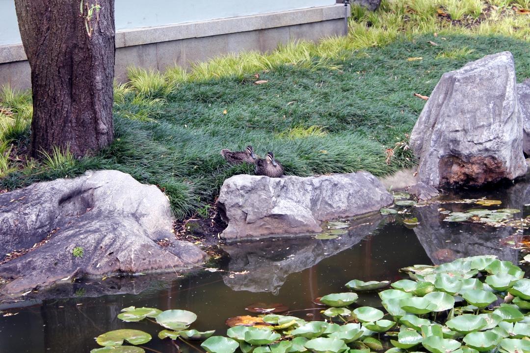 Sydney Chinese Gardens, photo 5.