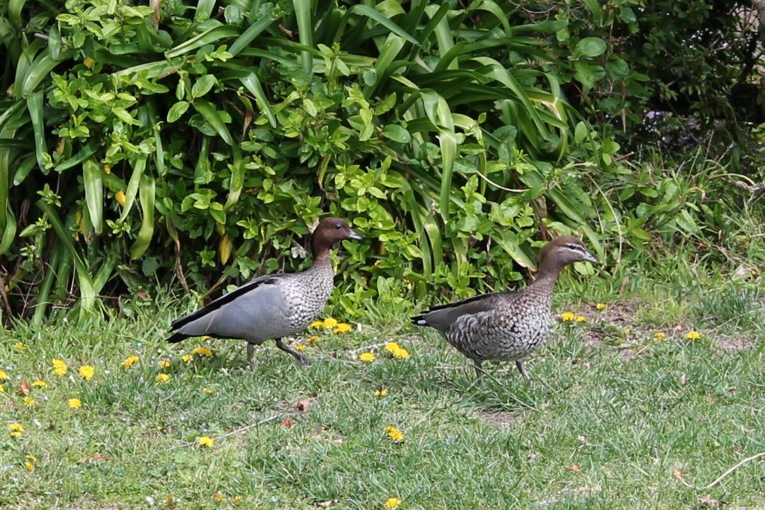 Ducks visiting our garden.