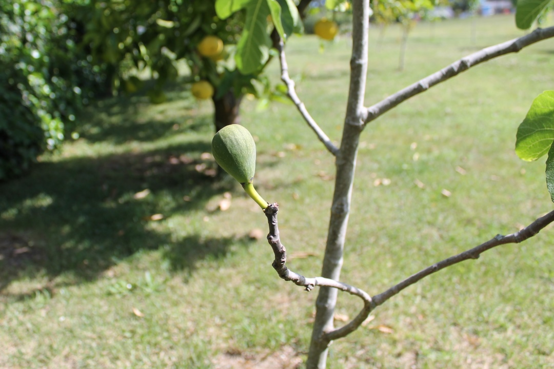 A fig on a fig tree.