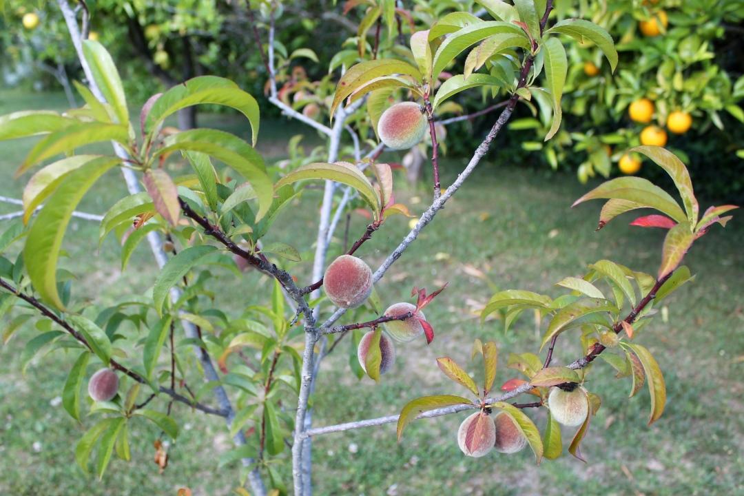 Our peach tree.