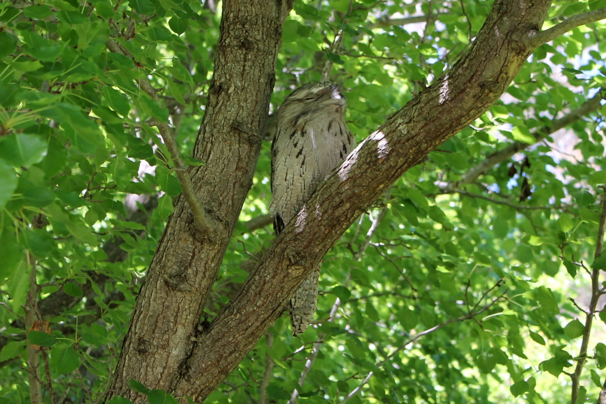 Tawny frogmouth in a tree.