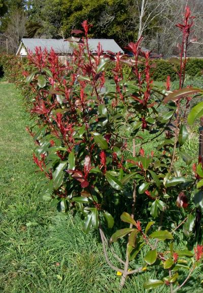 Red Robin Hedge